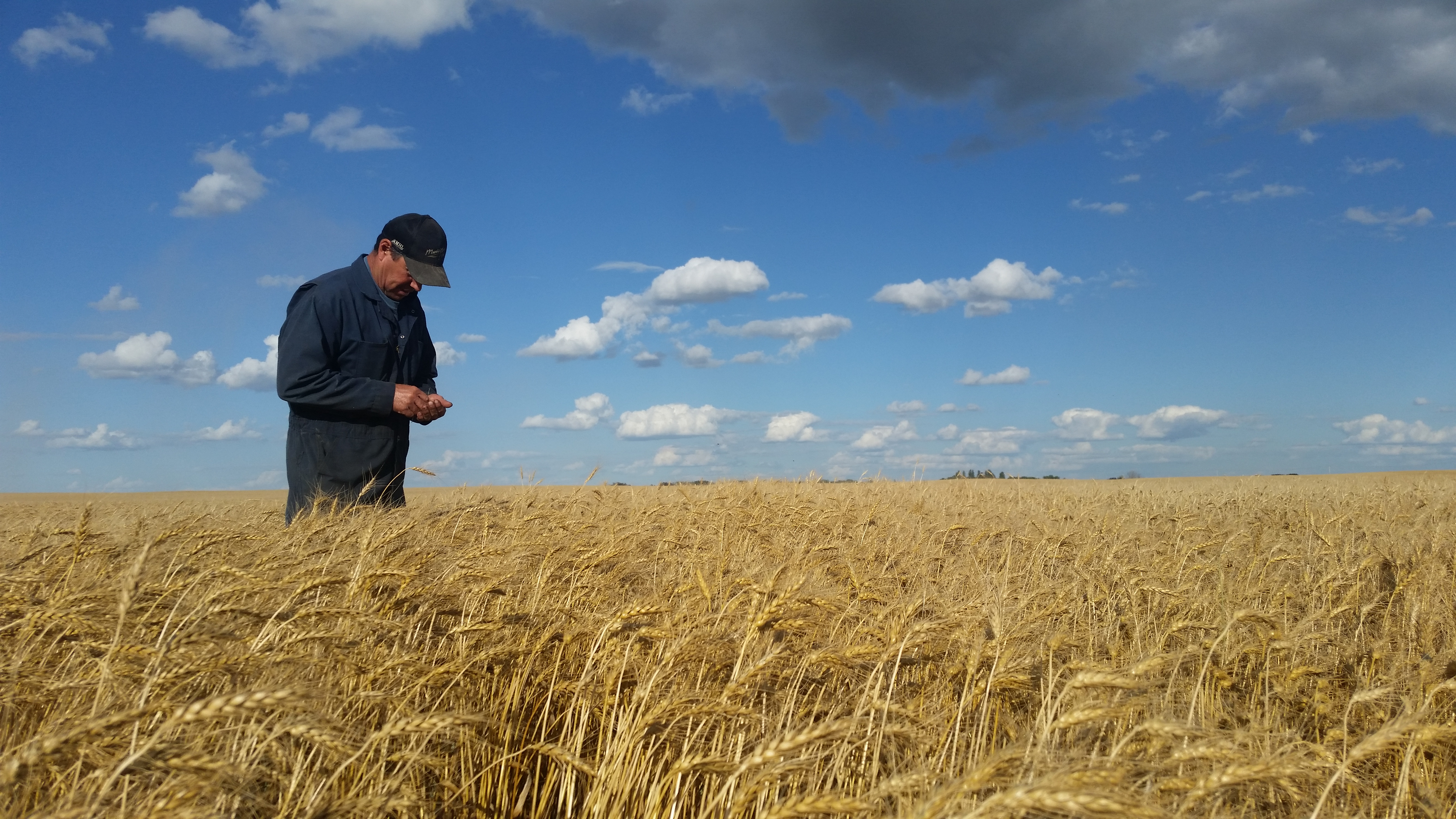 Assessing wheat trial prior to harvest.